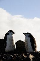 ヒゲペンギン 成鳥