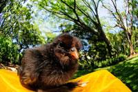 バン 小鳥