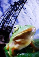 クレーンの上にのるニホンアマガエル 02296003523| 写真素材・ストックフォト・画像・イラスト素材|アマナイメージズ