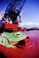 クレーンの上にのるニホンアマガエル 02296003524| 写真素材・ストックフォト・画像・イラスト素材|アマナイメージズ
