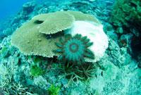 オニヒトデに食べられて死滅するサンゴ