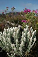 アカザ科の植物