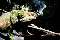 パーソンカメレオン 02296003635| 写真素材・ストックフォト・画像・イラスト素材|アマナイメージズ