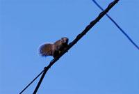 電線を渡るタイワンリス