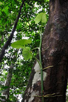 パナマの植物