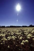 太陽と白い花畑