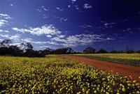 青空と黄色い花畑と道 02296003824| 写真素材・ストックフォト・画像・イラスト素材|アマナイメージズ