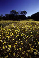 黄色い花畑と樹木 02296003826| 写真素材・ストックフォト・画像・イラスト素材|アマナイメージズ