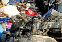 ゴミ捨て場にいるウミイグアナ