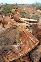 ゴミ捨て場にいるリクイグアナ