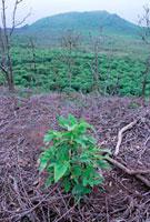 外来種の森とスカレシア
