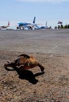 飛行場にいるリクイグアナ