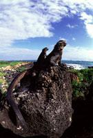 ガラパゴスウミイグアナ 02296003853| 写真素材・ストックフォト・画像・イラスト素材|アマナイメージズ