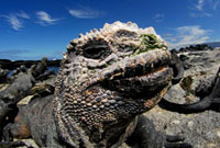 ガラパゴスウミイグアナ 02296003854| 写真素材・ストックフォト・画像・イラスト素材|アマナイメージズ