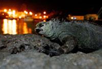 ガラパゴスウミイグアナ 02296003855| 写真素材・ストックフォト・画像・イラスト素材|アマナイメージズ