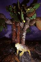 ガラパゴスリクイグアナ 02296003856| 写真素材・ストックフォト・画像・イラスト素材|アマナイメージズ