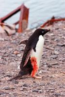 ゴミ捨て場で怪我をしたペンギン