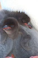 アデリーペンギンのヒナ