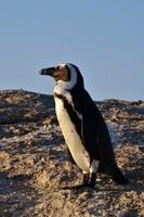 アフリカンペンギン