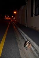 夜の道路を渡るアフリカンペンギン