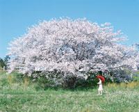 桜の木と赤い傘を差す日本人女性