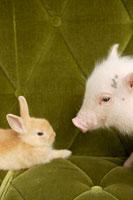 ソファの上のブタとウサギ