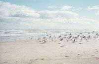 海岸のウミネコの群れ 塩屋崎海岸 福島県