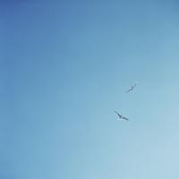 青空を飛ぶ2羽のカモメ 02302000094  写真素材・ストックフォト・画像・イラスト素材 アマナイメージズ