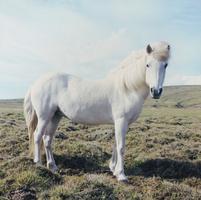 草原の白馬