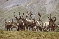 Reindeer herd, Rangifer tarandus