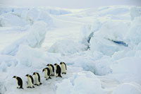 Emperor penguins moving across sea