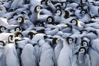 Emperor penguin chicks huddling