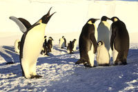 Emperor penguins stretching
