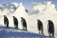 Emperor penguins walking uphill