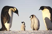 Emperor penguins showing paternal