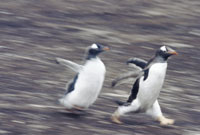 Gentoo penguin chick chasing parent