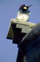 Acorn woodpecker on roof