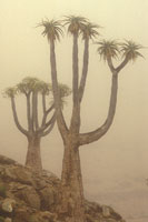 Giant tree aloes in morning fog