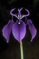 Iris, Moraea regalis, South Africa