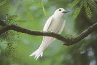 Fairy tern in acacia, Gygis alba