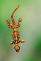Smooth-backed gliding gecko
