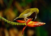 花を食べるハシナガクモカリドリ 02314002187| 写真素材・ストックフォト・画像・イラスト素材|アマナイメージズ