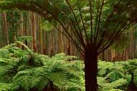 ユーカリの森の中の木性シダ