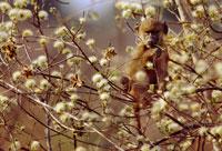 アカシアの中のアヌビスヒヒの子ども 02314002214| 写真素材・ストックフォト・画像・イラスト素材|アマナイメージズ