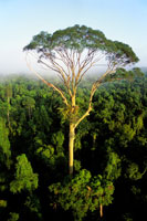 雨林の樹冠から飛び出した高木