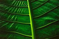 葉脈 02314002282| 写真素材・ストックフォト・画像・イラスト素材|アマナイメージズ