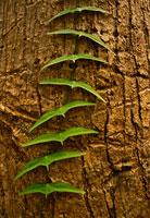 木に絡まるツタ 02314002283| 写真素材・ストックフォト・画像・イラスト素材|アマナイメージズ