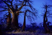 黄昏のバオバブの木 02314002306| 写真素材・ストックフォト・画像・イラスト素材|アマナイメージズ