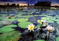 潟湖のスイレン