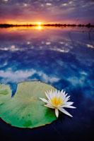 日没に花を閉じる昼咲きスイレン